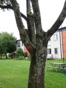 Sjukt träd som ska beskäras